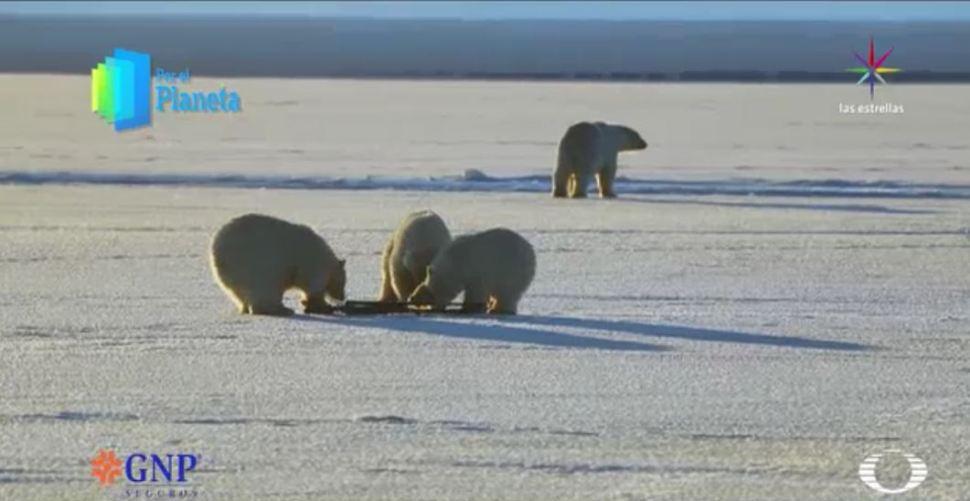 Los Gigantes de Alaska, los cachorros de oso polar juegan con la cámara del equipo de Televisa. (Noticieros Televisa)