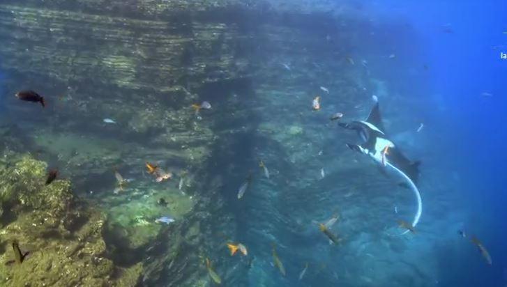 Mantarraya en Islas Revillagigedo (Noticieros Televisa)