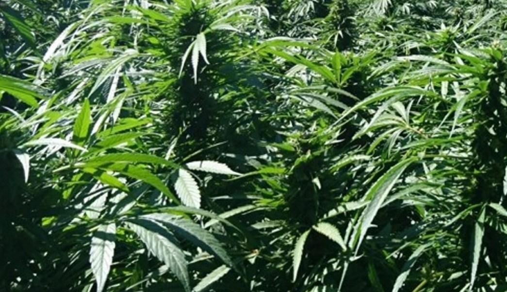 Marihuana. (Notimex/Archivo)