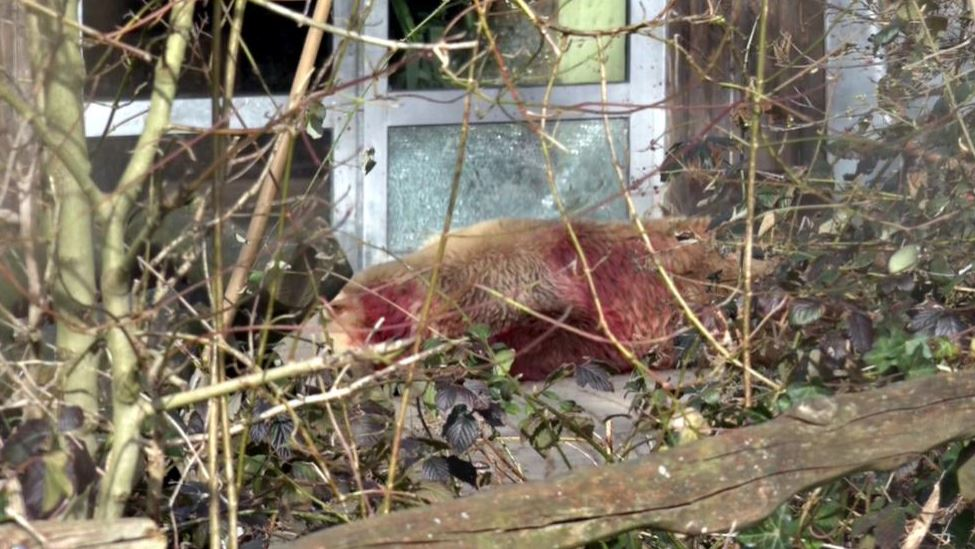 Un trabajador del parque disparó al animal por el riesgo que suponía para las personas. (NonStopNews)
