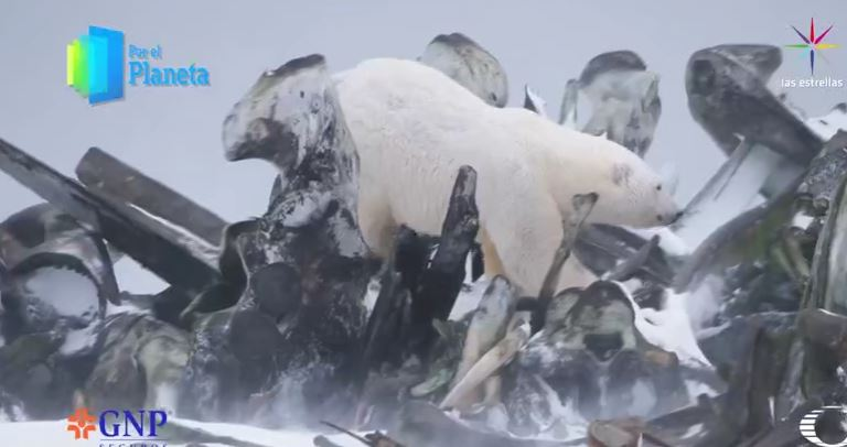 Oso polar en Alaska (Por el Planeta/Noticieros Televisa)