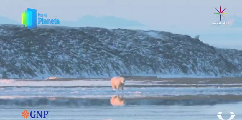 Oso polar en Kaktovik, Alaska (Por el Planeta/Noticieros Televisa)
