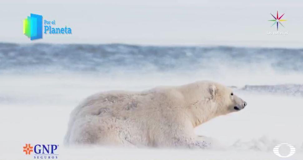 Oso polar varado en el Ártico (Por el Planeta/Noticieros Televisa)