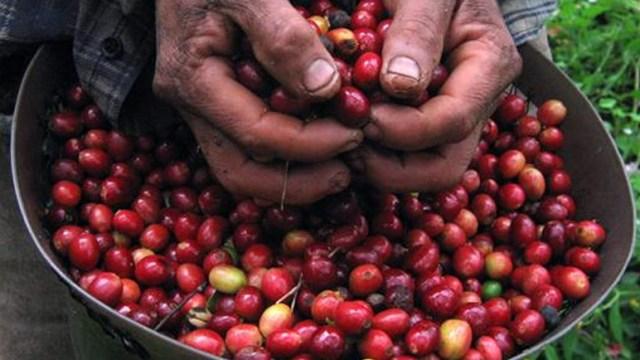 México, onceavo lugar como productor mundial de café