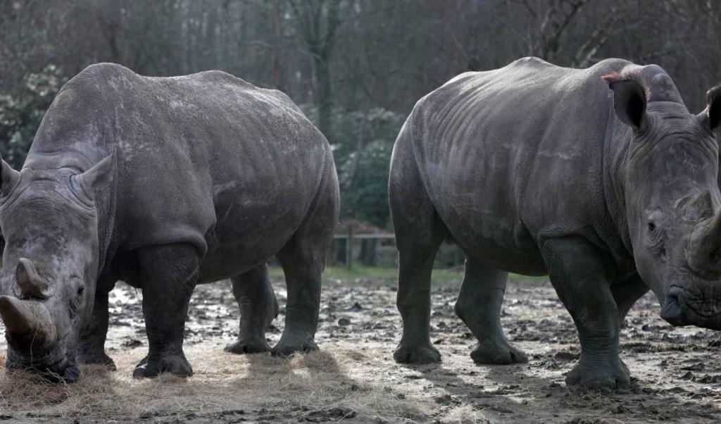 Rinocerontes blancos Bruno y Gracie en su recinto en el zoológico de Thoiry, cerca de París, donde Vince, de cuatro años, fue asesinado a tiros.