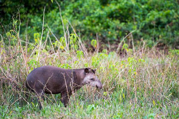 El ejemplar de tapir encontrado en Campeche pesa aproximadamente 250 kilogramos. (Getty Images, archivo)