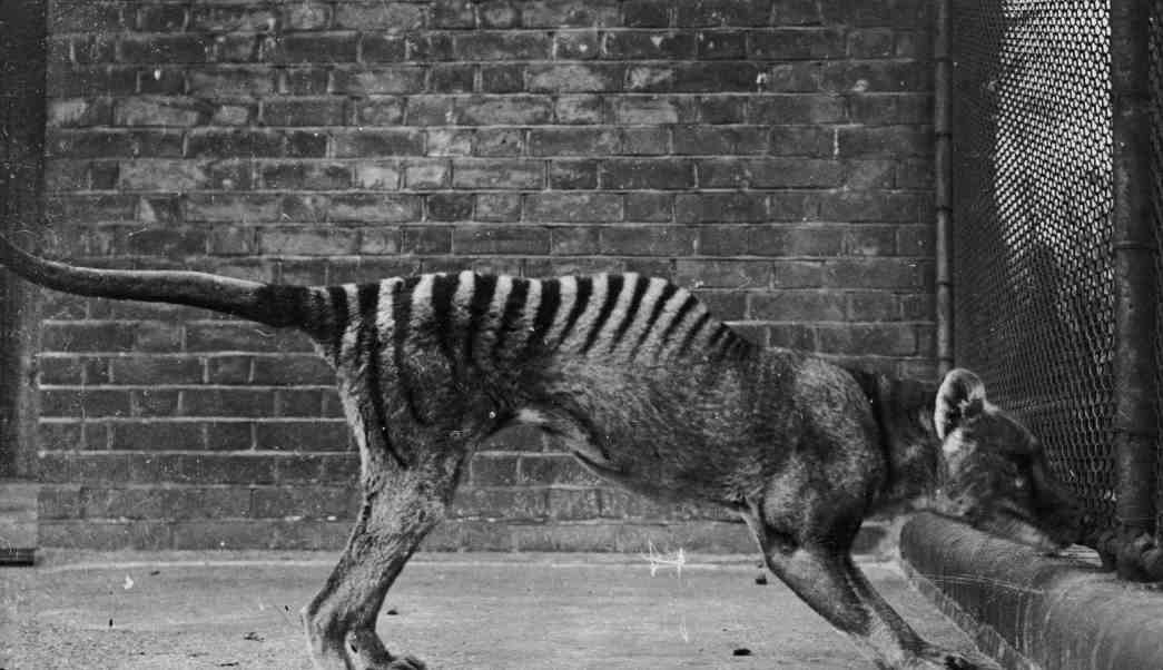 tigre de tasmania, ultimo tigre de tasmania