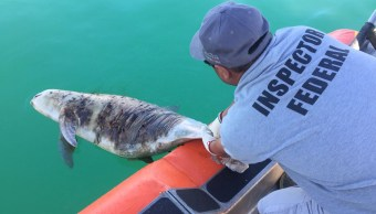Profepa intensifica vigilancia para protección de vaquita marina y pez totoaba. (Twitter/ @PROFEPA_Mx)