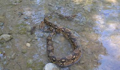 Reintegran ejemplar de boa constrictora en Colima. (Profepa)