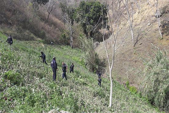Plantío de amapola en Tepuxtepec es destruido por las autoridades (Noticieros Televisa)