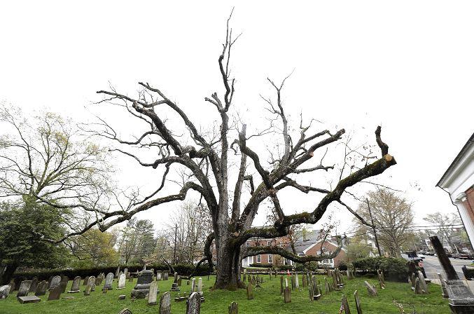 El árbol será removido durante dos o tres días en la comunidad ubicada a unos 48 kilómetros al oeste de Nueva York (AP)