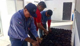 Aseguran más de 1,500 ejemplares de pepino de mar sobre la carretera Sonoyta-San Luis Río Colorado, en Sonora (Profepa)