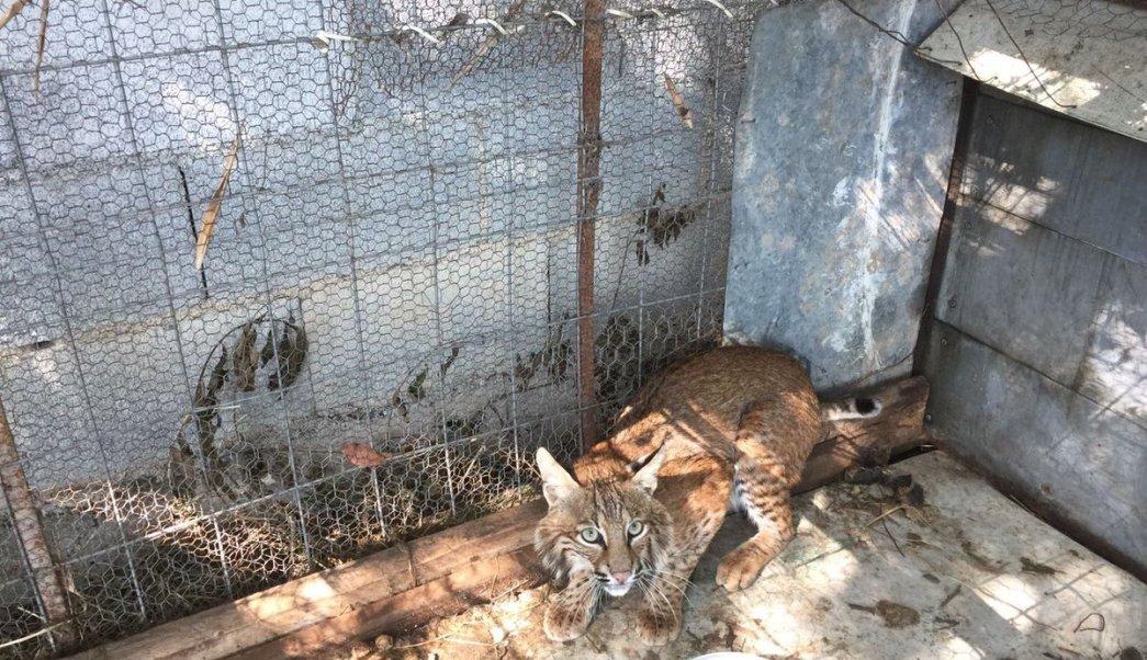 Aseguran gato montés en Monterrey, Nuevo León. (Twitter @_LASNOTICIASMTY)