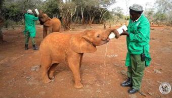 Una bebé elefante es rescatada de una trampa en Kenia