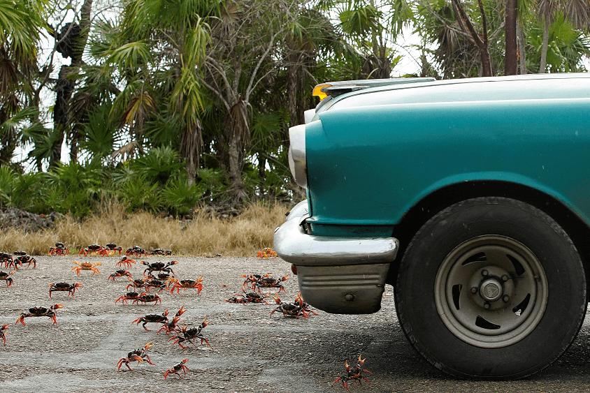 Los animales causan estragos en los caminos. (Reuters)