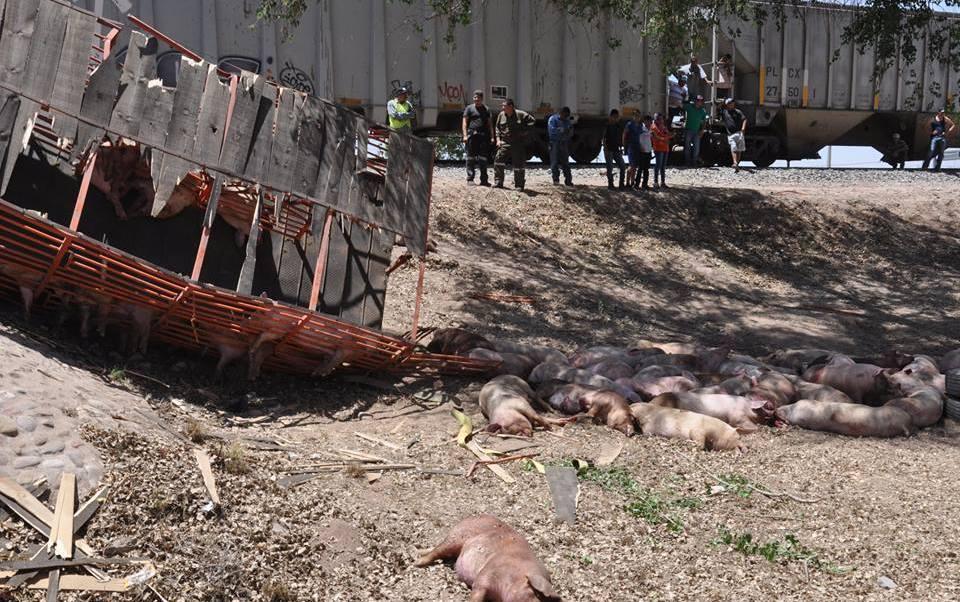 El tráiler transportaba alrededor de 217 cerdos. (Noticieros Televisa)