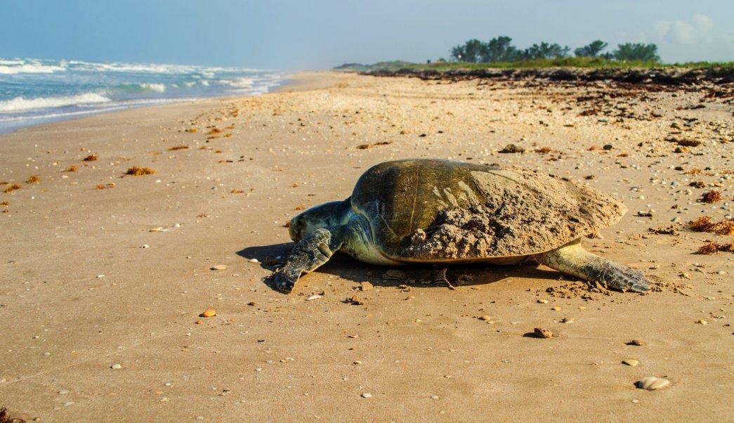 De las tres especies que llegan a desovar al Golfo de México, la tortuga Lora es la que más se reproduce. (Twitter @CONANP_mx, Archivo)