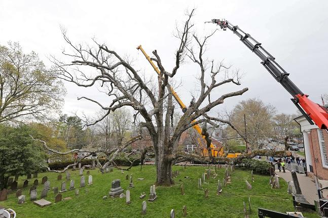 El árbol de 600 años fue declarado muerto después que comenzó a mostrar putrefacción y debilidad.