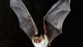 Imagen de un murciélago en vuelo. (Getty Images, archivo)