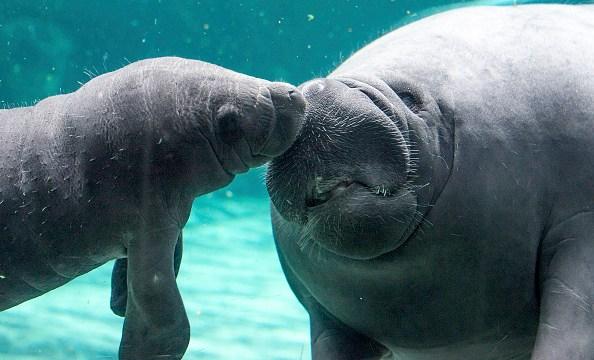 """Loa manatíes son apodados """"vacas de mar"""" debido a su dieta de plantas acuáticas (Getty Images/Archivo)"""