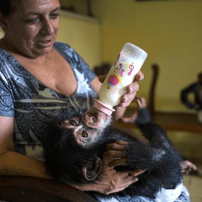 Chimpancés en peligro de extinción son criados en apartamento de bióloga cubana