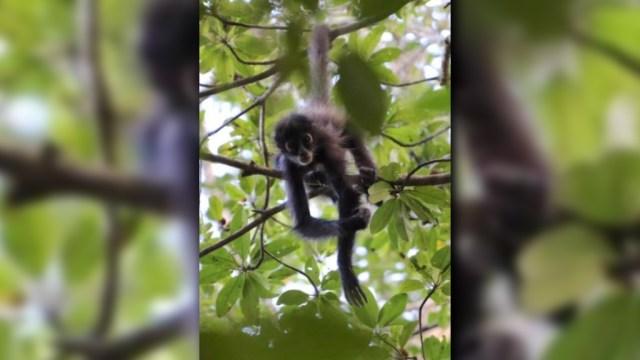 Ejemplar de mono araña que habita la Biosfera de Calakmul, en Campeche (Twitter @nafior8)