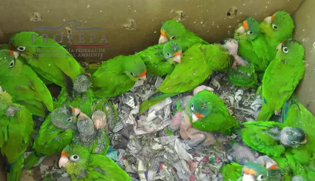 Personal de la Profepa atiende aves silvestres que fueron abandonadas en Baja California (Profepa)