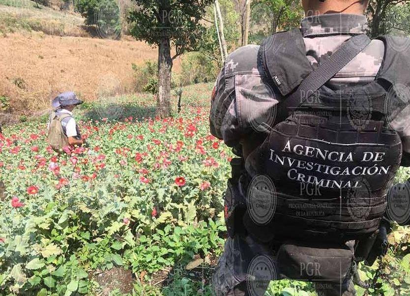 El Grupo Especial Operativo, en coordinación con peritos de la Institución, llevó a cabo la erradicación de los plantíos por el método de vareo y poda (Twitter/@PGR_mx/Archivo)