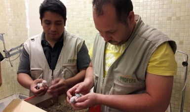 Aseguran 5 polluelos de pericos, los cuales eran ofrecidos ilegalmente en Facebook, en Culiacán, Sinaloa. (Profepa)