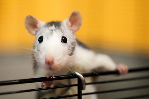 Estudian los efectos de los medicamentos contra el Déficit de Atención en ratas (Getty Images, archivo)