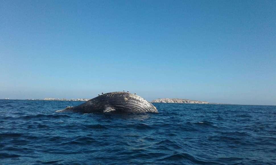 Profepa recupera el cadáver de una ballena jorobada frente a las costas de Jalisco (Profepa)