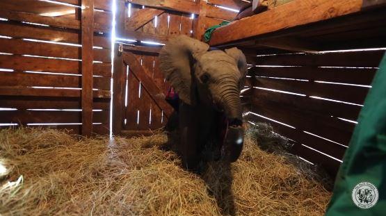 El pequeño animal presentaba numerosas heridas y lesiones, incluso estaba a punto de desprenderse su trompa. (www.sheldrickwildlifetrust.org)