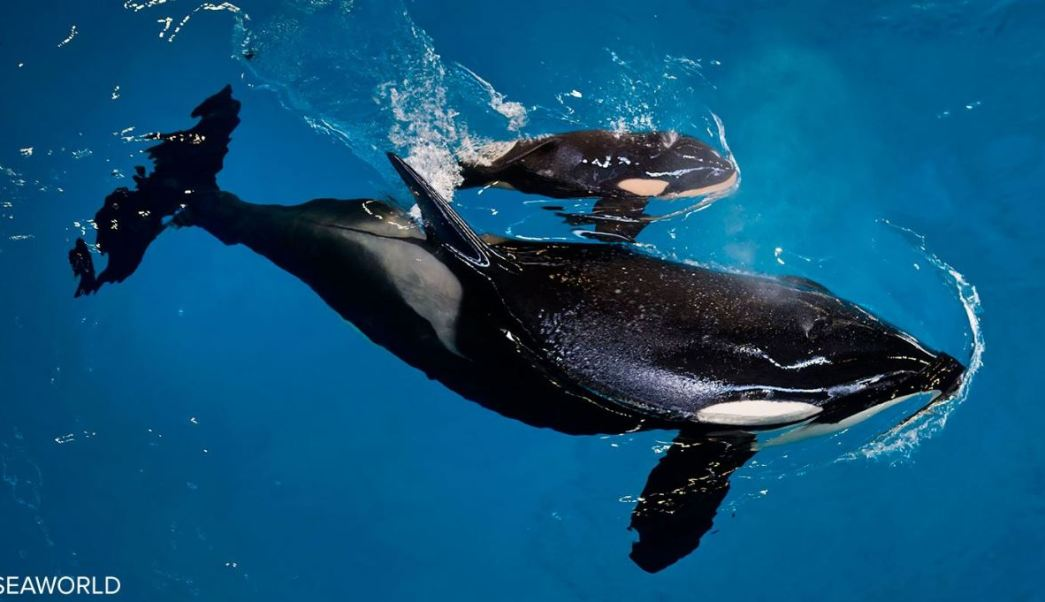 La cría nació a las 14:33, hora local del miércoles, en el parque temático de SeaWorld en San Antonio, Texas, según reportó la empresa. (Seaworld)