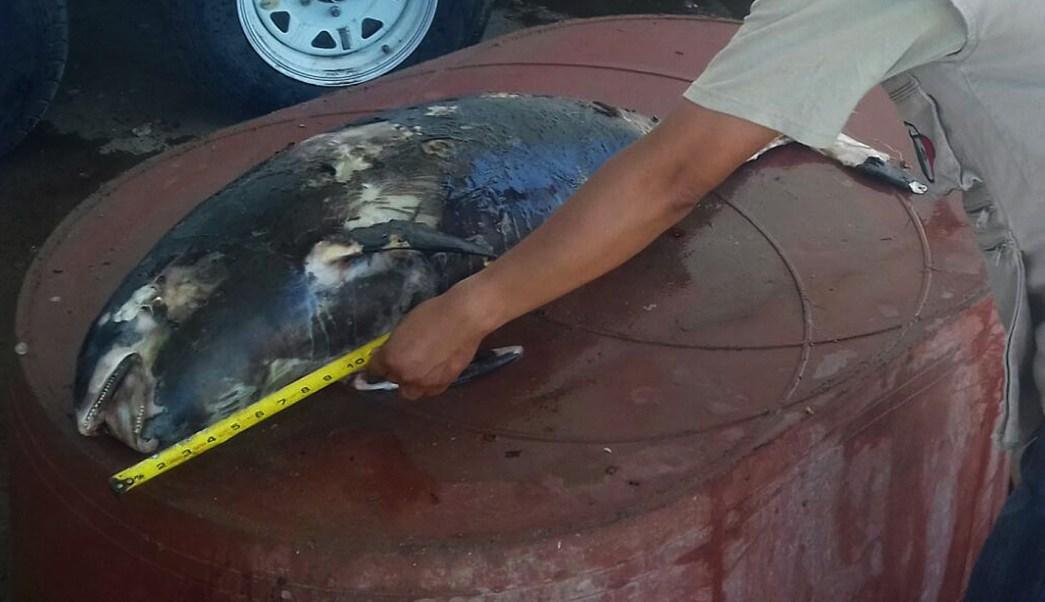 Ejemplar de vaquita marina muerta encontrada en Baja California.