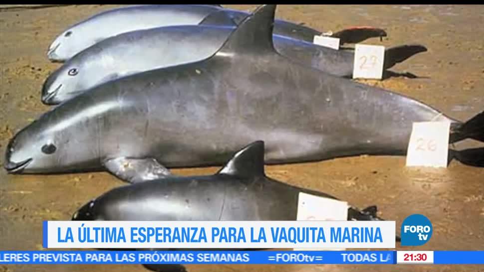noticias, forotv, vaquita marina, viviendo, ultimos dias, ejemplares