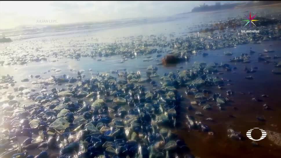 Aparecen, muertas, medusas, Rosarito, Fauna Marina, Costas de Baja California