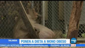 Rescatan, macaco, obeso, Tailandia, tío gordo, bangkok