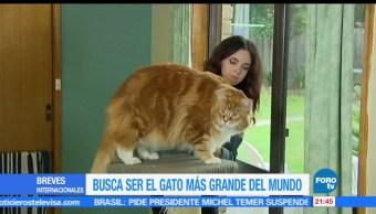 Gato gigante, sensación, redes sociales, Omar, mas grande, mundo