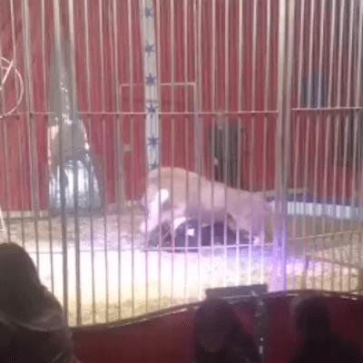 Video: Domador de circo es atacado por león