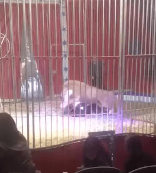 león, domador, circo, Francia, Doullens
