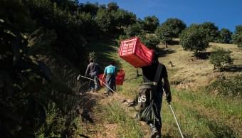 Campesinos se dirigen a plantación de aguacate