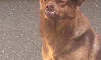 Chilaquil, perro, murci, meme, redes sociales, adopción