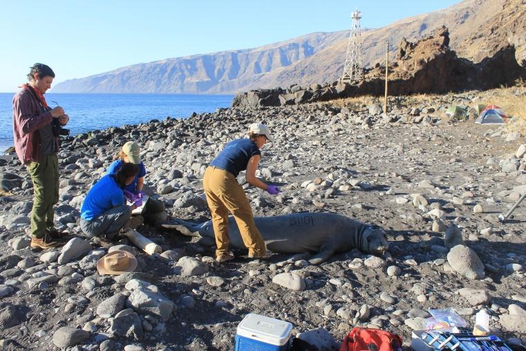 Colocan rastreador satelital a elefante marino en Baja California