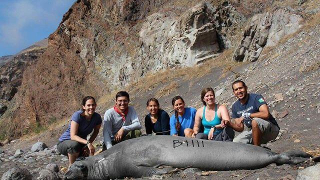 Colocan rastreador satelital a un elefante marino en Baja California (Profepa)