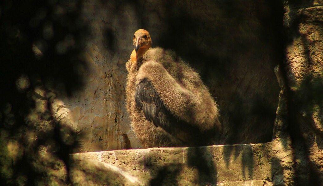 Cría de cóndor de California nacido en el Zoológico de Chapultepec
