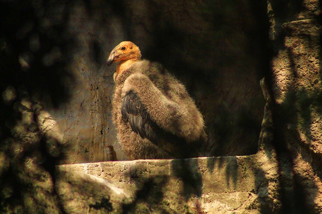 Cóndor de California nacido en el Zoológico de Chapultepec. (Sedema)