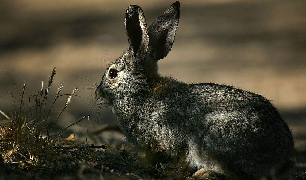 Australia, conejos, virus, plaga