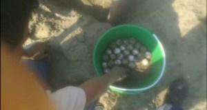Huevos de tortuga lora son resguardados
