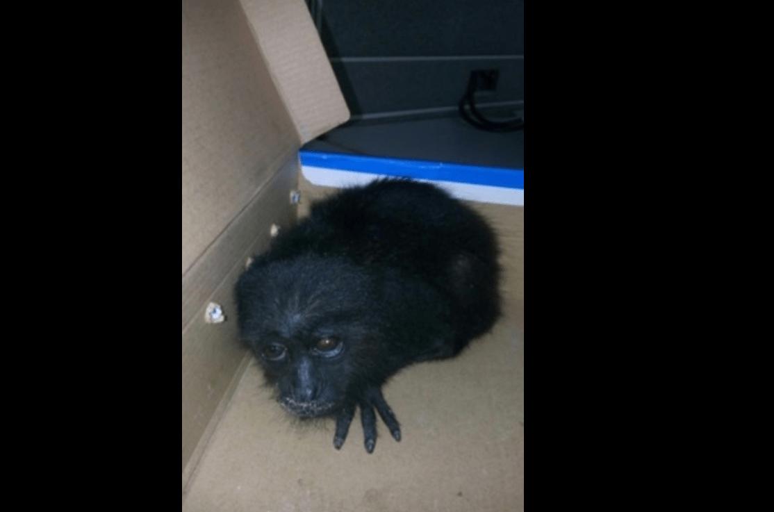 Mono aullador rescatado en Quintana Roo (Profepa)