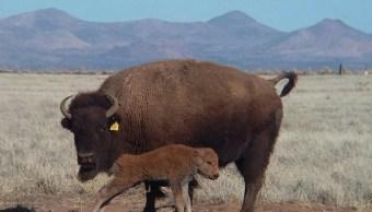 Nacimiento de crías de bisonte (CONANP)